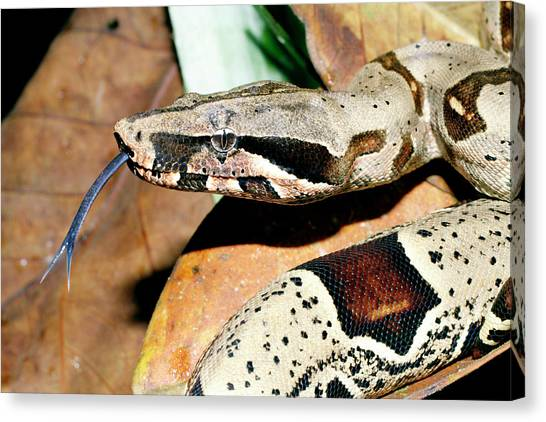 Boas Canvas Print - Boa Constrictor by Dr Morley Read/science Photo Library