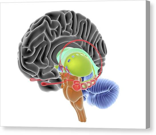 Cut-away Canvas Print - Brain Section by Alfred Pasieka