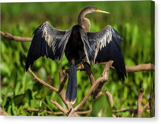 Anhinga Canvas Print - Brazil An Anhinga Drying Its Wings by Ralph H. Bendjebar