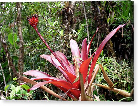 Bromeliad Canvas Print - Bromeliad Plant by Dr Morley Read/science Photo Library