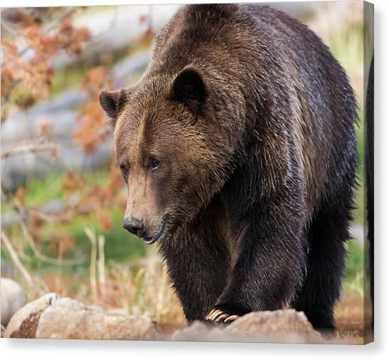 Brown Bears Canvas Print - Brown Bear, Grizzly, Ursus Arctos, West by Maresa Pryor