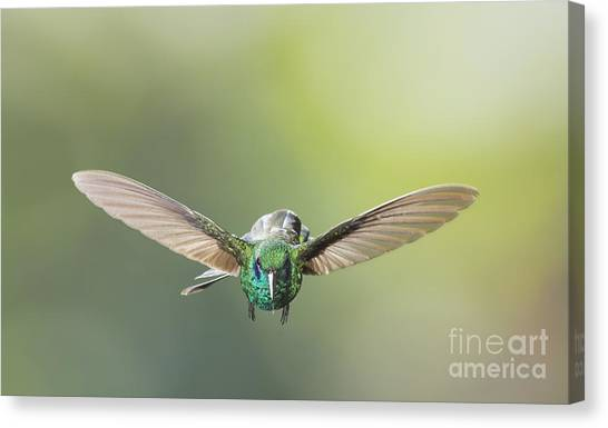 Brown Violet-ear Hummingbird Canvas Print