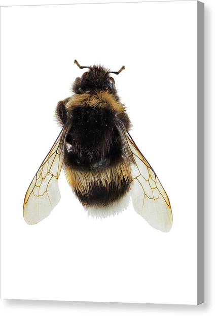 Pollinator Canvas Print - Buff-tailed Bumblebee by F. Martinez Clavel