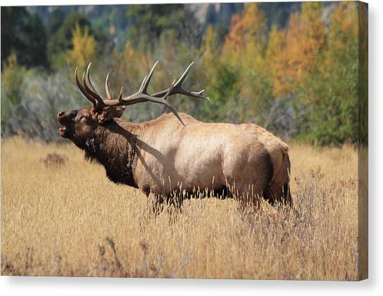 Bugling Bull Canvas Print