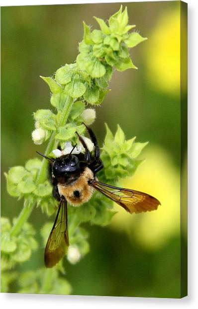 Bumbling On The Basil Canvas Print
