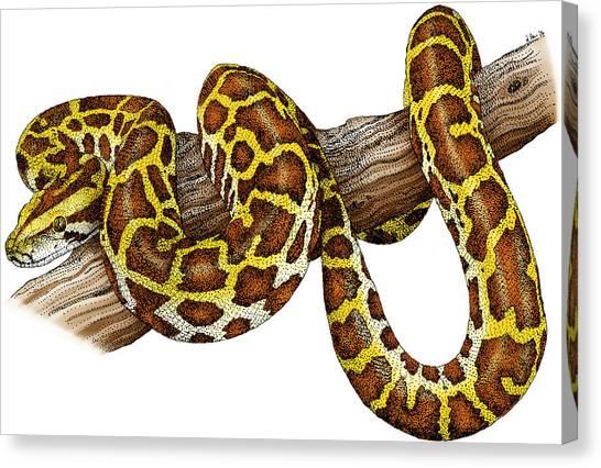 Burmese Pythons Canvas Print - Burmese Python by Roger Hall