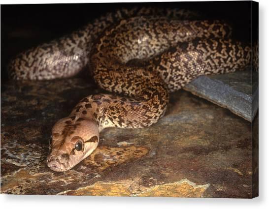 Burmese Pythons Canvas Print - Burmese Python by Steve Cooper