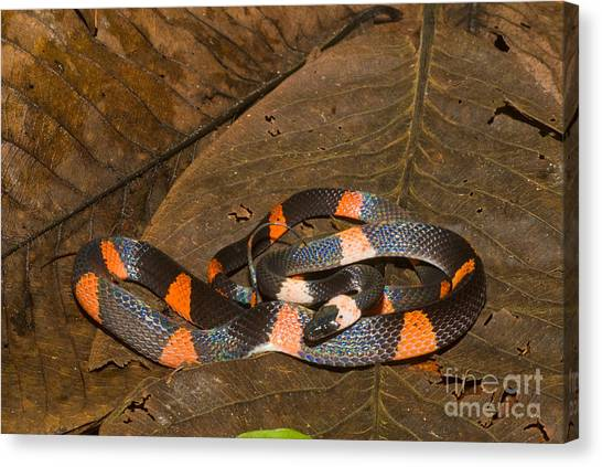 Amazon River Canvas Print - Calico Snake by William H. Mullins