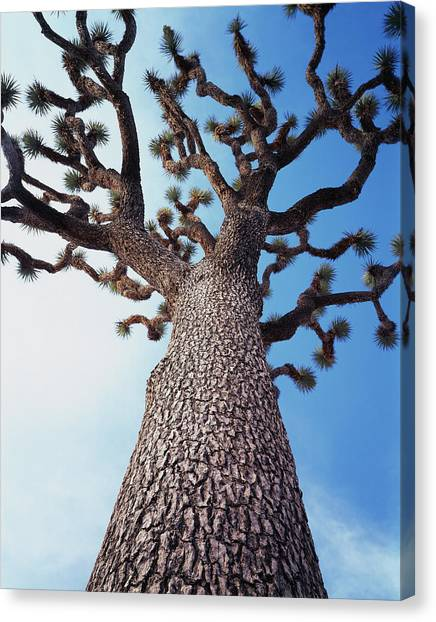 Mojave Desert Canvas Print - California, Joshua Tree National Park by Christopher Talbot Frank