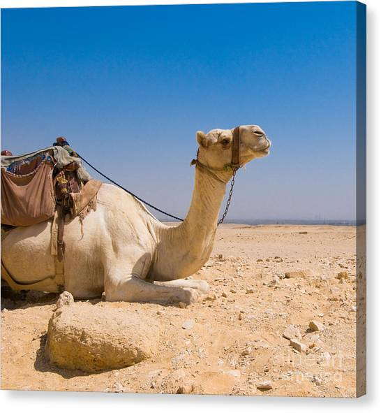 Sahara Desert Canvas Print - Camel In Desert by Konstantin Kalishko