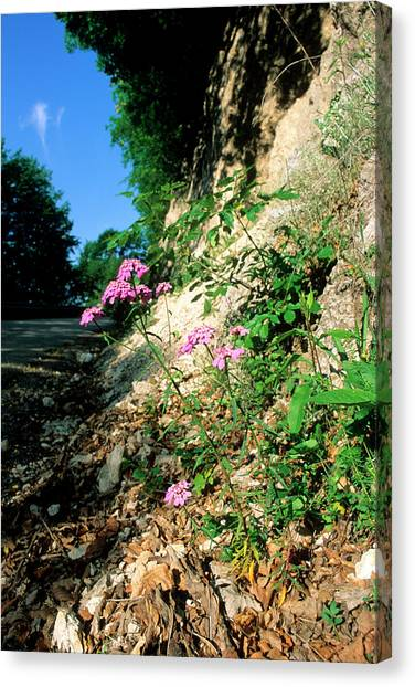 Candytuft (iberis Umbellata) Canvas Print by Bruno Petriglia/science Photo Library