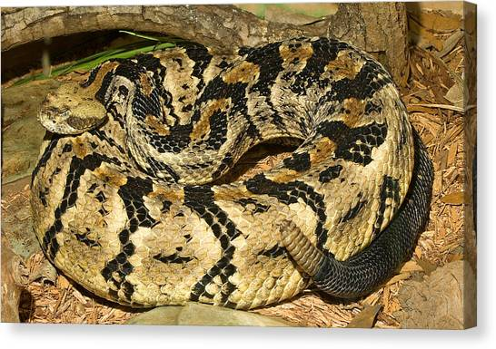 Timber Rattlesnakes Canvas Print - Canebrake Rattlesnake by Millard H. Sharp