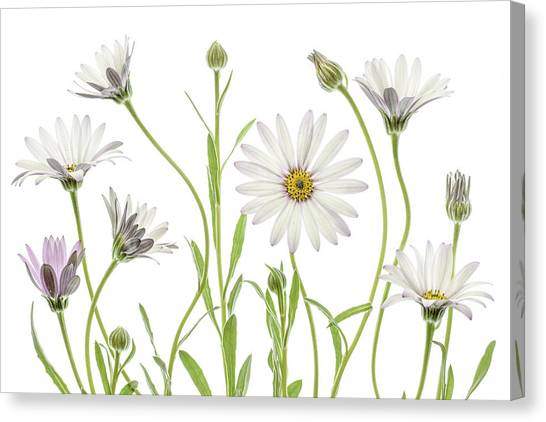 Summer Flowers Canvas Print - Cape Daisies by Mandy Disher