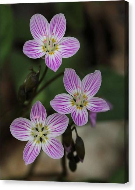 Carolina Spring Beauty Canvas Print