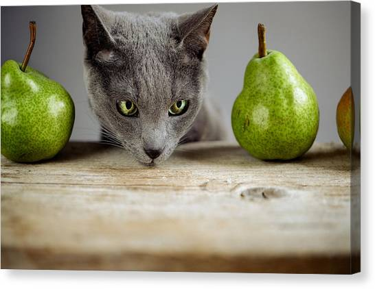 Russian Blue Canvas Print - Cat And Pears by Nailia Schwarz