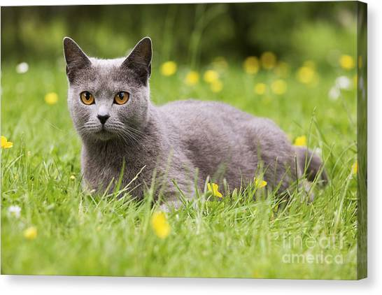 Chartreuxes Canvas Print - Chartreux Cat by Jean-Michel Labat