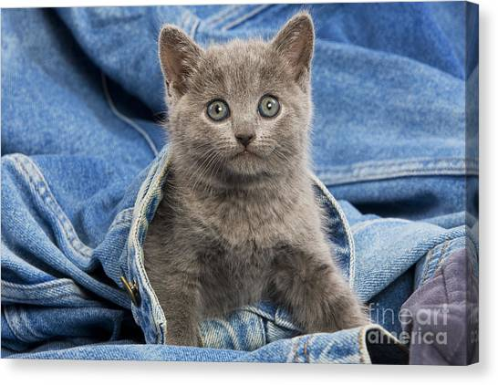 Chartreuxes Canvas Print - Chartreux Kitten by Jean-Michel Labat