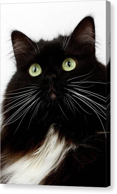 Siberian Cats Canvas Print - Chat Siberien by Gerard Lacz