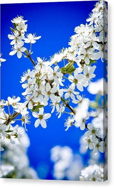 Cherry Blossom With Blue Sky Canvas Print