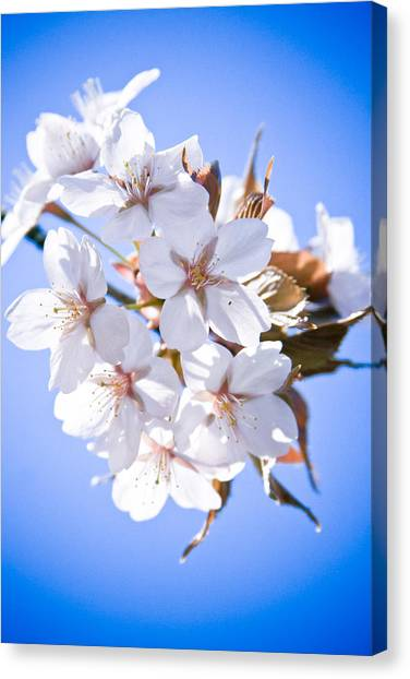 Cherry Tree Blossoms Close Up Canvas Print