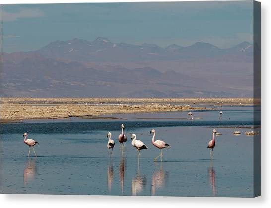Chilean Canvas Print - Chilean Flamingo, (phoenicopterus by Sergio Pitamitz