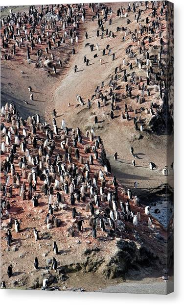 Chinstrap Penguin Colony Canvas Print by William Ervin/science Photo Library