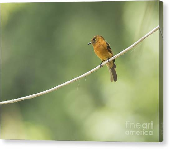 Cinnamon Flycatcher Canvas Print