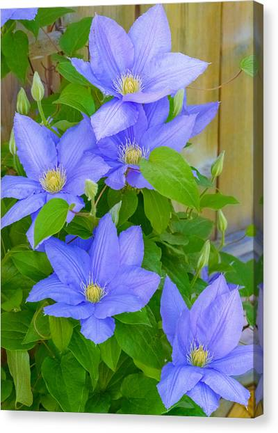 Canvas Print featuring the photograph Clematis  by Garvin Hunter