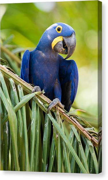 The Pantanal Canvas Print - Close-up Of A Hyacinth Macaw by Panoramic Images
