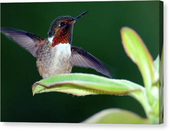 Selasphorus Canvas Print - Close-up Of A Scintillant Hummingbird by Animal Images