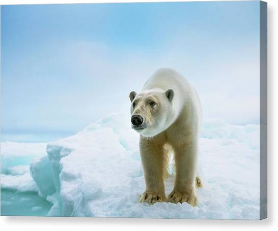 Bears Canvas Print - Close Up Of A Standing Polar Bear by Peter J. Raymond