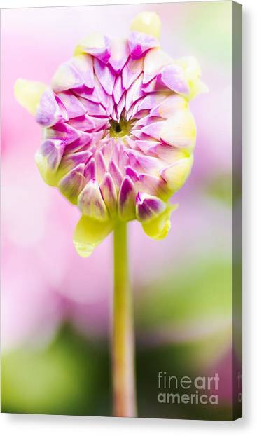New Baby Canvas Print - Closed Pink Baby Dahlia Flower. Spring Blossom by Jorgo Photography - Wall Art Gallery