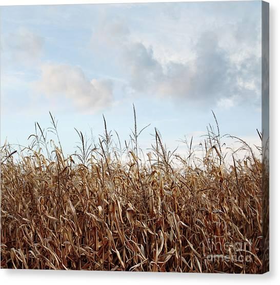Corn Maze Canvas Print - Closeup Of Corn Stalks  by Sandra Cunningham