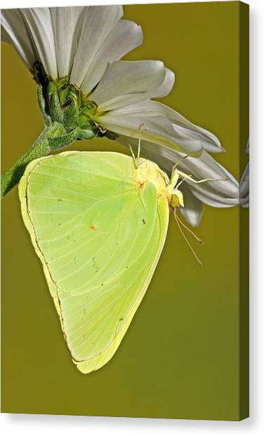 Sulfur Butterfly Canvas Print - Cloudless Sulphur Butterfly by Millard H Sharp
