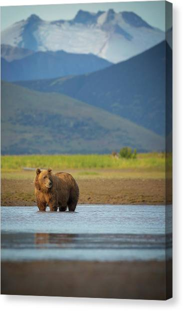 Coastal Brown Bear Canvas Print by Chase Dekker Wild-life Images