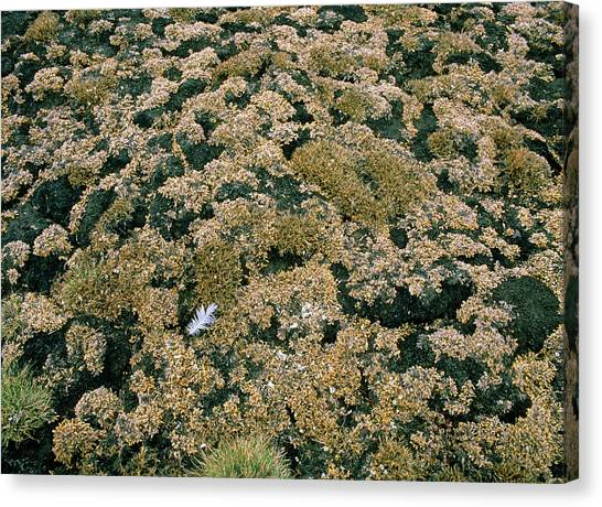 Tundras Canvas Print - Coastal Tundra Vegetation by Simon Fraser/science Photo Library