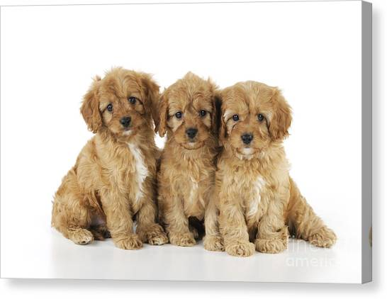 Cocker Spaniels Canvas Print - Cockapoo Puppy Dogs by John Daniels