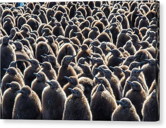 Canvas Print - Colony Of King Penguins, Aptenodytes by Tom Murphy