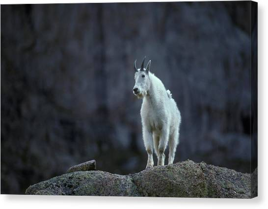 Goats Canvas Print - Colorado Mountains by Scott Warren