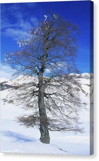 Common Beech Tree (fagus Sylvatica) Canvas Print by Bruno Petriglia/science Photo Library