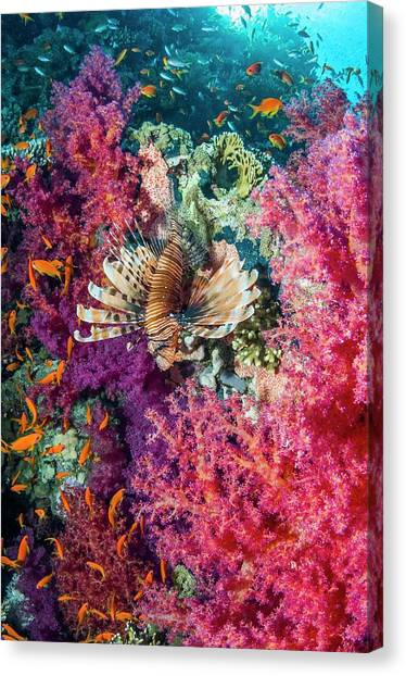 Animal Behaviour Canvas Print - Common Lionfish Hunting A Reef by Georgette Douwma