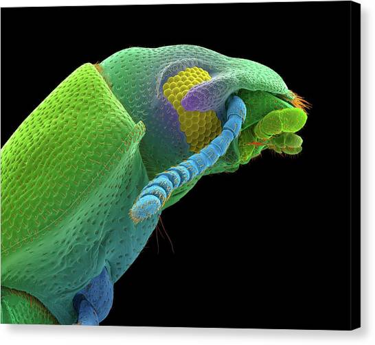 Pest Canvas Print - Confused Flour Beetle Adult by Dennis Kunkel Microscopy/science Photo Library