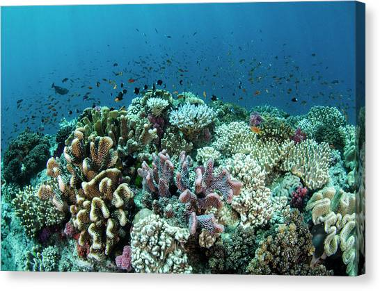 Coral Reefs Canvas Print - Coral Reef Diversity, Fiji by Pete Oxford