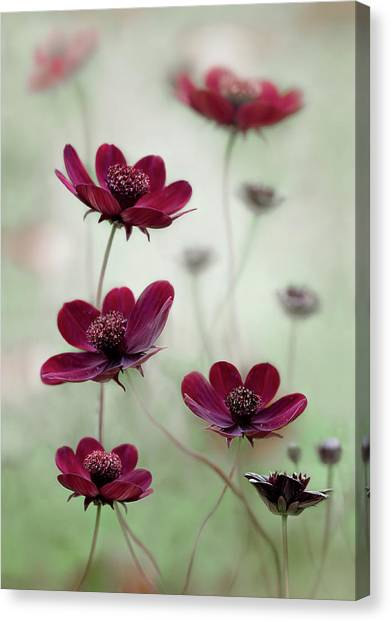 Cosmos Flower Canvas Print - Cosmos Sway by Mandy Disher