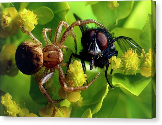 Crab Spider With Fly Canvas Print by David Spears/science Photo Library