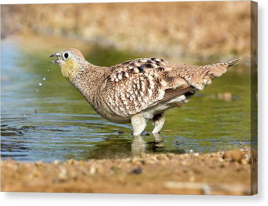 Negev Desert Canvas Print - Crowned Sandgrouse Pterocles Coronatus by Photostock-israel