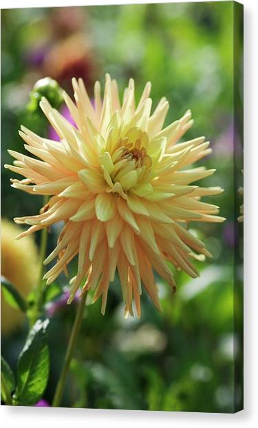 Perennial Canvas Print - Dahlia Flower (dahlia Sp.) by Gustoimages/science Photo Library