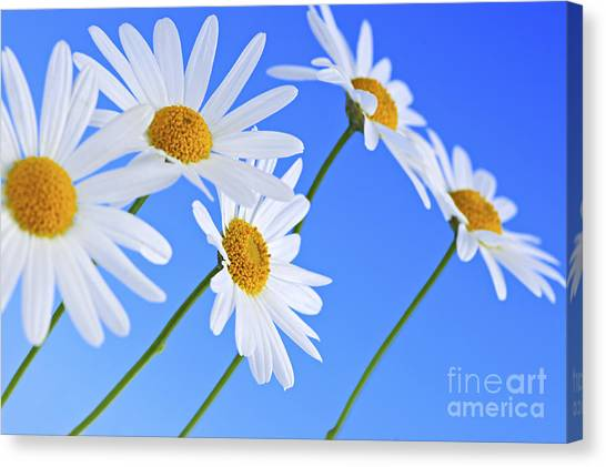Floral Canvas Print - Daisy Flowers On Blue Background by Elena Elisseeva