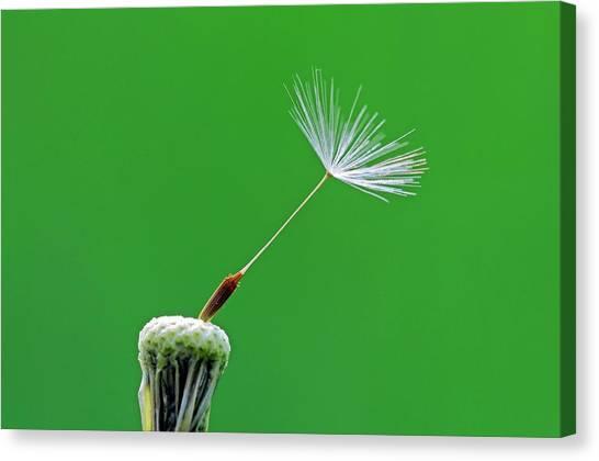 Dandelion Clocks Canvas Print - Dandelion (taraxacum Officinale) Seedhead by Bildagentur-online/mcphoto-schulz