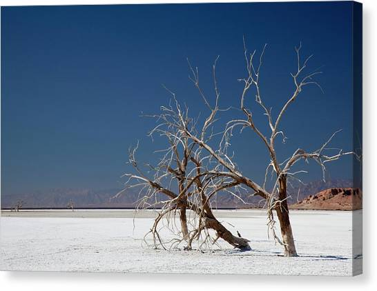 Bono Canvas Print - Dead Trees On Salt Flat by Jim West